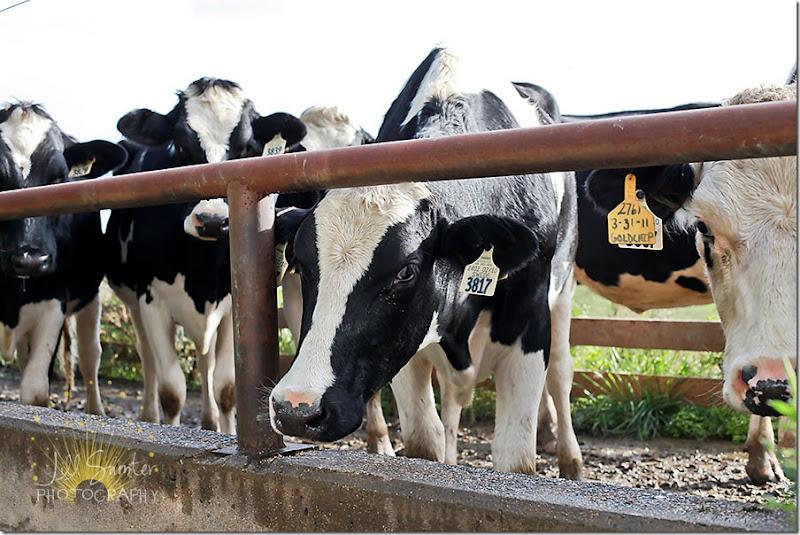cows-9796