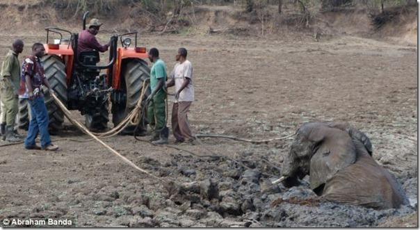 Resgate dramático de um elefante bebê e sua mãe (13)
