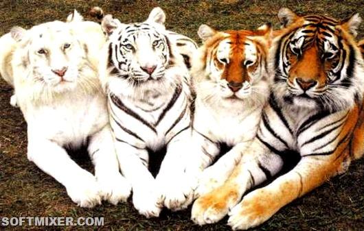 Различные подвиды тигров имеют