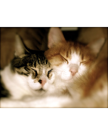 Max and Bobo, cats from Windermere, Florida, taking one of their daily naps after thoroughly grooming each other. Contributed by Alberta72.