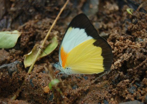 Belenois helcida BOISDUVAL, 1833, endémique. Réserve d'Ankarafantsika (50 km à l'est de Majunga), 210 m d'altitude, 10 février 2011. Photo : T. Laugier