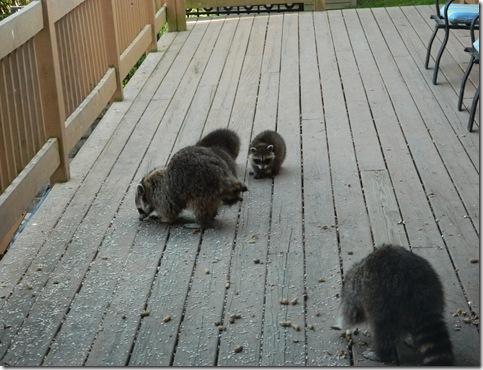 raccoons 2011 014
