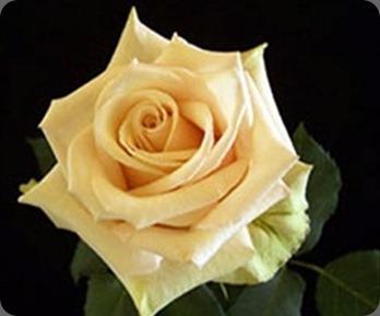 sahara thumb_271x220_sahara rose