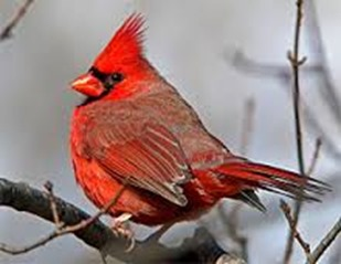 Amazing Pictures of Animals,photo, Nature, exotic, funny, incredibel, Zoo, Northern Cardinal, (Cardinalis cardinalis), Bird, Aves, Alex (19)