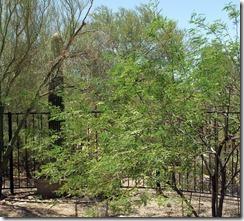 mesquite, saguaro, palo verde 6-26-2013 1-48-37 PM 2854x2577