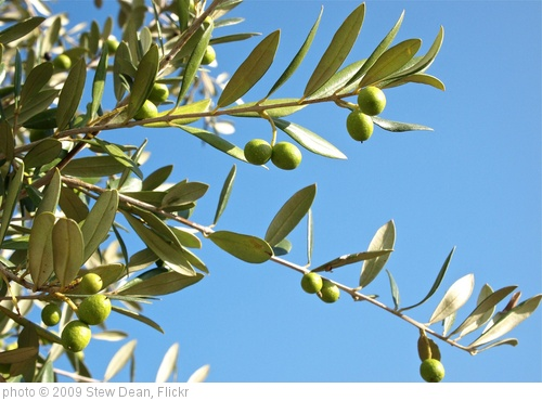 'Growing Olives' photo (c) 2009, Stew Dean - license: http://creativecommons.org/licenses/by/2.0/