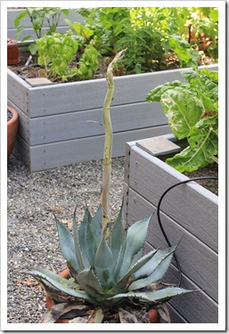 130511_Agave-parryi-with-flower-spike_01