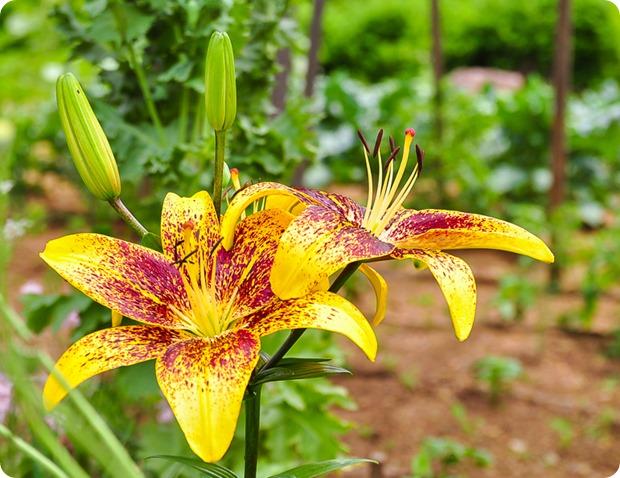 garden june-5778