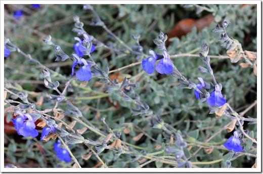 121120_Salvia-chamaedryoides_02