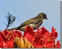 Cigua bird