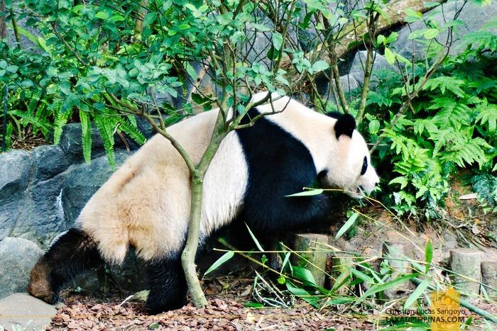 Jia Jia, One of Singapore's Giant Pandas