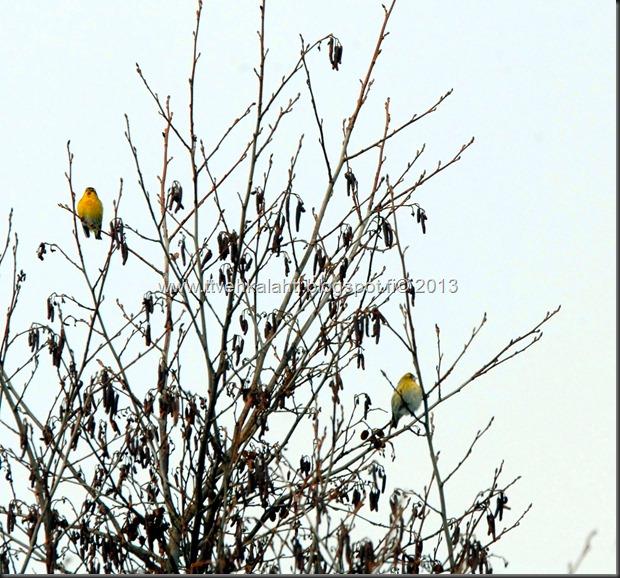 tilhe linnut kylpee keltasirkut 124