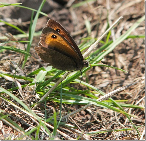 36-meadow-brown
