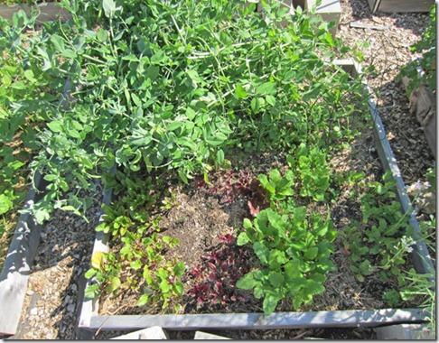 peas-&-turnips