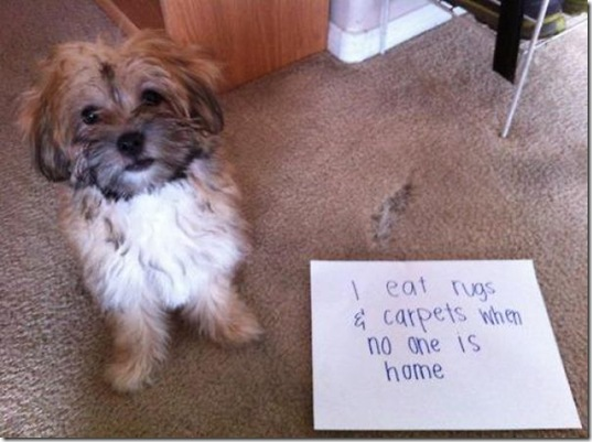 dog-shaming-bad-29