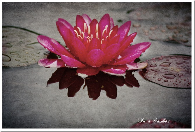 red waterlily 1with mayzee texture