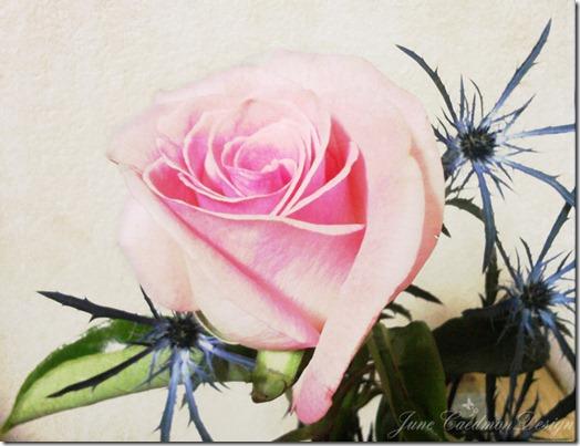 Rose_kkelevate