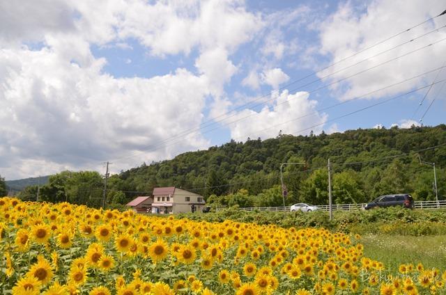 2013-08-22 Sunflowers 017