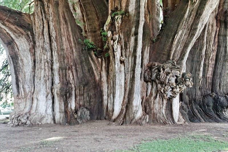 tule-tree-4