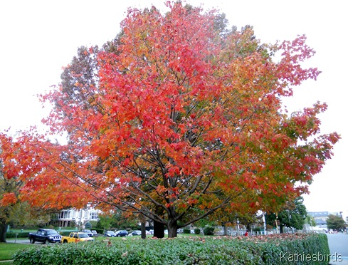 11. maple tree-kab