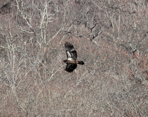 First immature Bald Eagle, scaring up the ducks