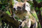 A Koala Eating Leaves - Phillip Island, Australia