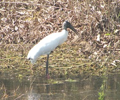 Florida 2013 Sanibel wood stork2