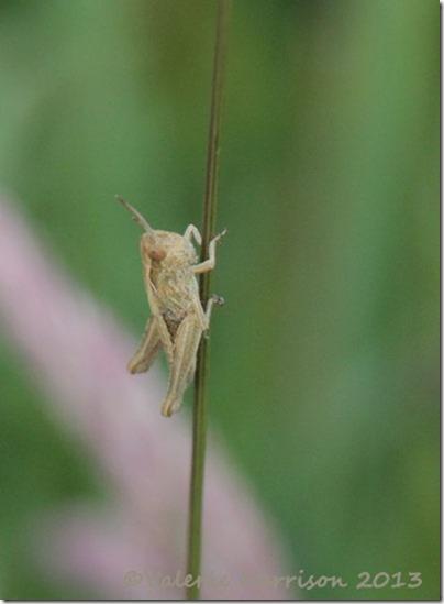 10-grasshopper