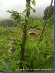 Codonopsis virdis - Bonnet Bellflower