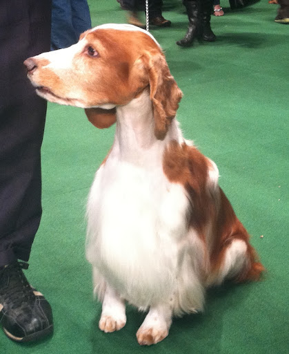 Welsh Springer Spaniel 'Colin' will be retiring after this year's Westminster Kennel Club dog show