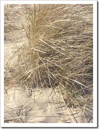 3.22.2012 CC dune grass Provincetown