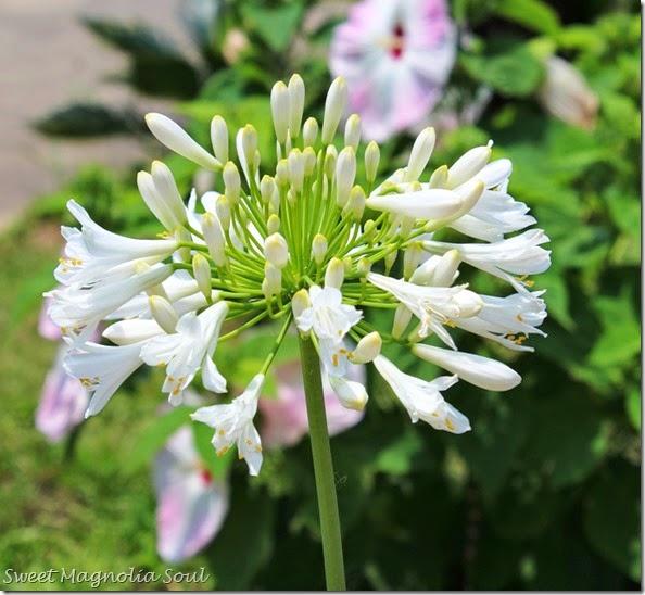 White Agapantha