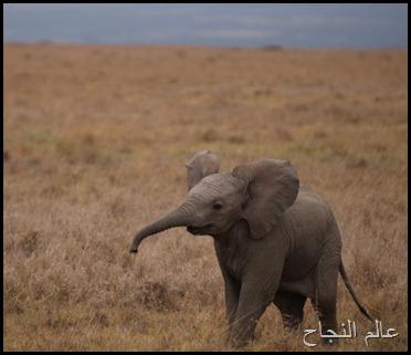 فيل صغير