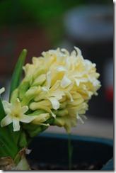 jacinto amarelo
