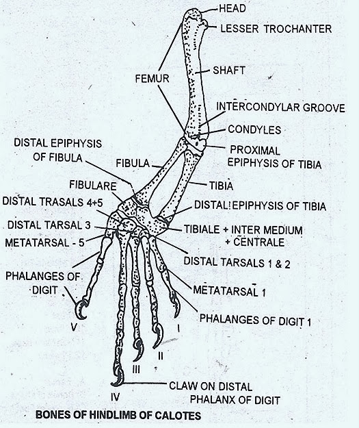 Hind Limb Skeleton In Reptile Bird And Mammal Comparative Anatomy
