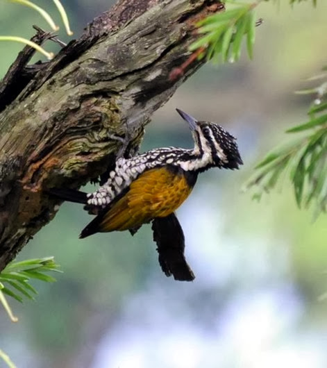 Amazing Pictures of Animals, Photo, Nature, Incredibel, Funny, Zoo, Greater Flameback, Chrysocolaptes guttacristatus, Bird,Alex (23)