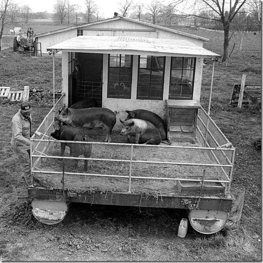 pigs-141127-0004