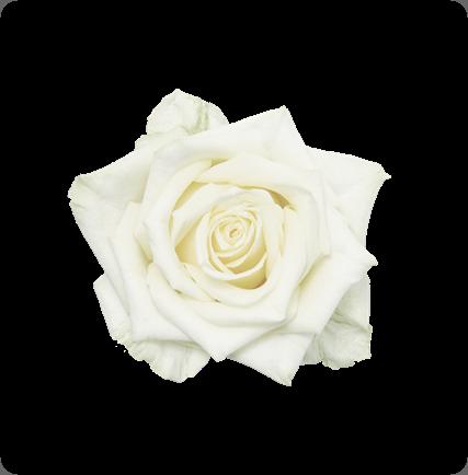 rose whitenaomi_topview_nl_rose www.schreurs.nl