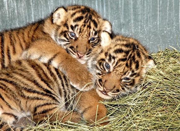Sumatran Tiger Cubs 02