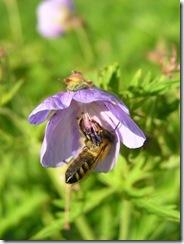 včely na květu a matečniky 087