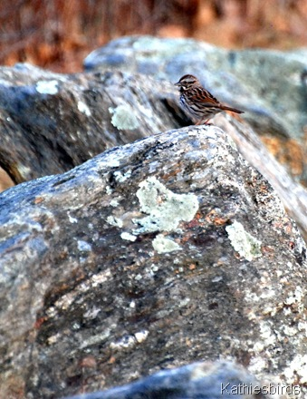 25. song sparrow-kab