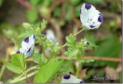 Five_Spot2_Nemophila_maculata
