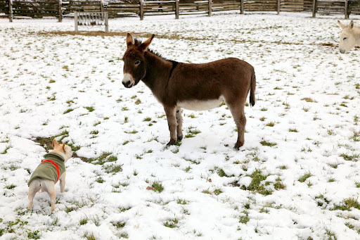 Rufus, how are you enjoying the snow?  Is it cold on your hooves?