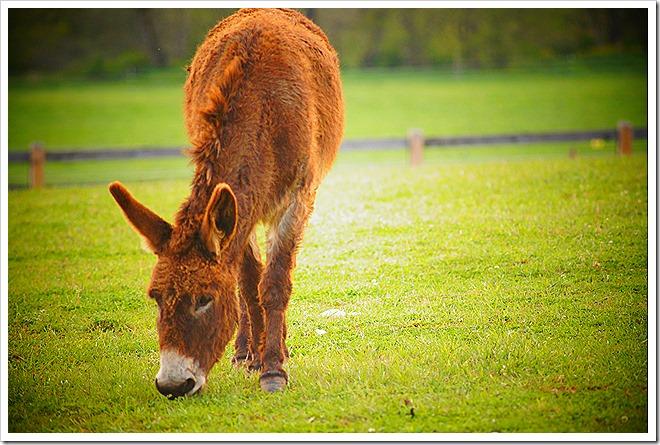mule-public-domain-picture (10)