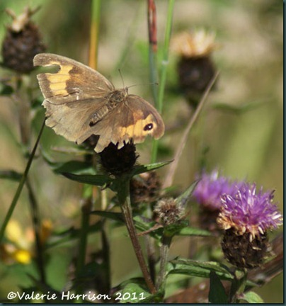 15-meadow-brown