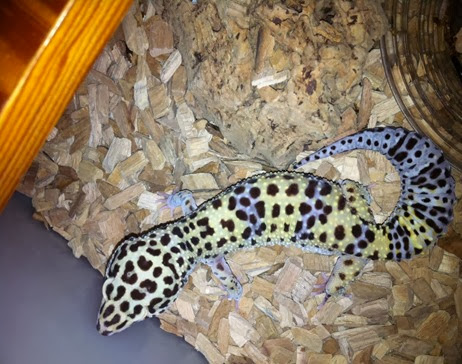 Amazing Pictures of Animals, Photo, Nature, Incredibel, Funny, Zoo, Eublepharis macularius, Leopard gecko, Alex (5)