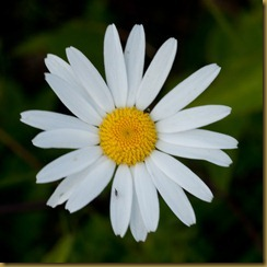 Ox-eye daisy, Leucanthemum vulgare