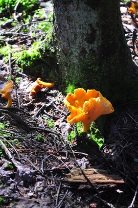 chanterelles_woods