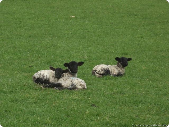 reservoir lambs