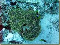 Nemos protecting anemone